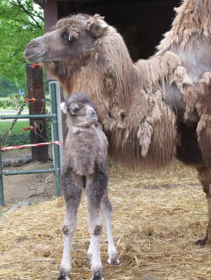 geboorte-kameel-mei-2013-081